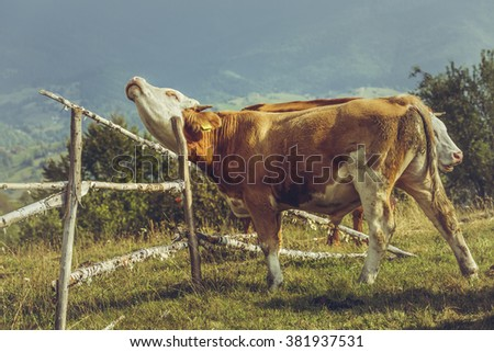 Brown young bull scratching an itchy spot against a rustic wooden fence on a pasture in Transylvania region, Romania. Organic livestock breeding. Traditional Romanian husbandry. - stock photo