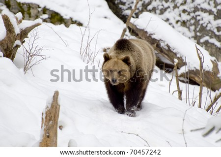 Brownbear walking through the snow... - stock photo