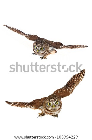 brownie  horned   two owl on a white background - stock photo