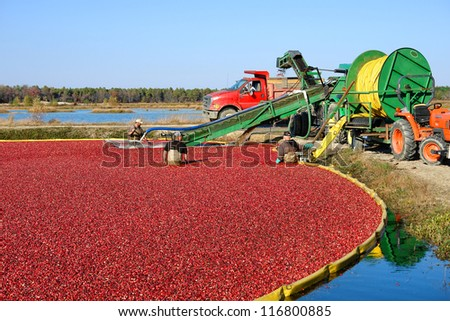 BROWNS MILLS, NJ - OCTOBER 22 - Farm workers harvest cranberries in a flooded bog with wet picking method during cranberry fall harvest on October 22, 2012 in Browns Mills, New Jersey - stock photo