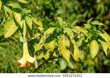 Brugmansia x candida pers angels trumpet stock photo royalty free brugmansia x candida pers angels trumpet borrachero a colorful of single flower mightylinksfo