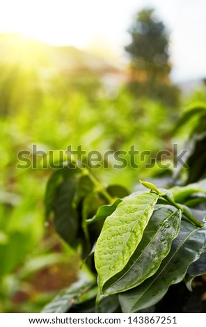 Brunch coffe tree with close up leaf under drop - stock photo