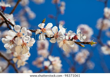 Brunch of apple blossoms against a blue sky - stock photo