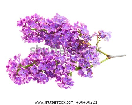 Brunch of fresh violet lilac flowers isolated on white background - stock photo