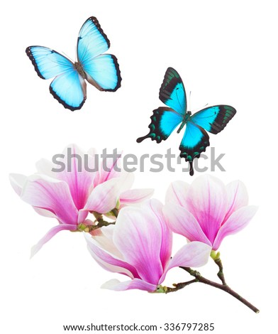 brunch with  blooming  pink magnolia   flower buds and blue butterflies isolated on white background - stock photo