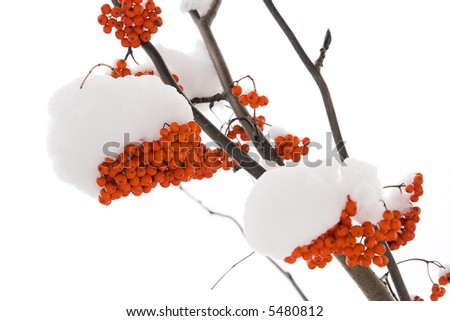 Brunches of ash berry. On a white background. - stock photo