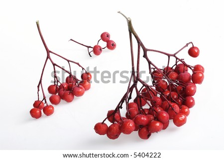 brunches of ash-berry on white background - stock photo