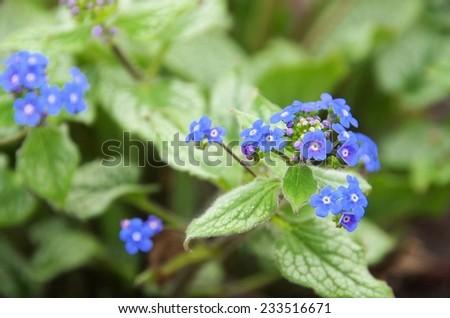 Brunnera macrophylla  - stock photo