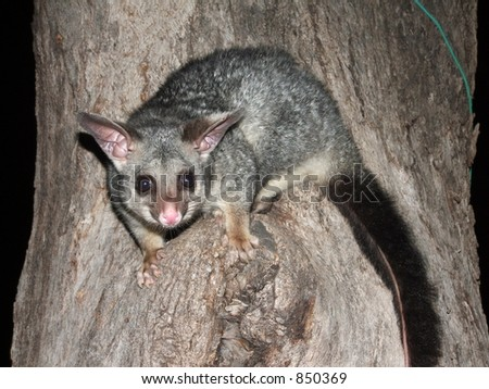 Brush-Tailed Possum in a Tree - stock photo
