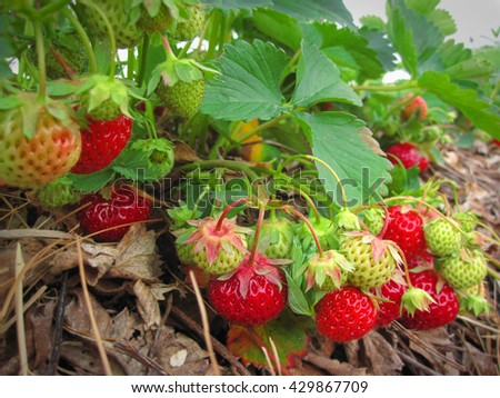 Brush the red ripe strawberry on a background of green leaves - stock photo