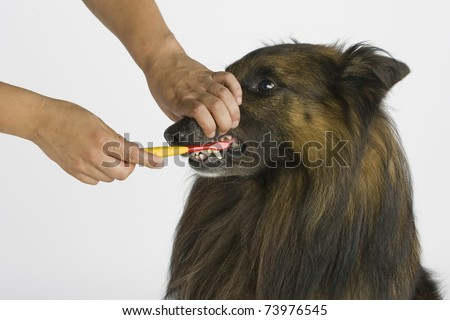 brushing the teeth of a dog - stock photo