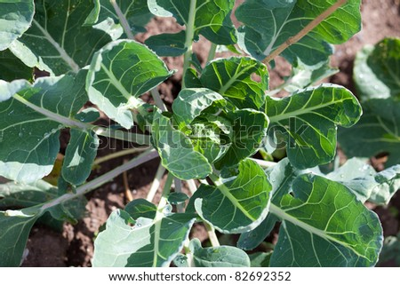 Brussel sprout plant - stock photo