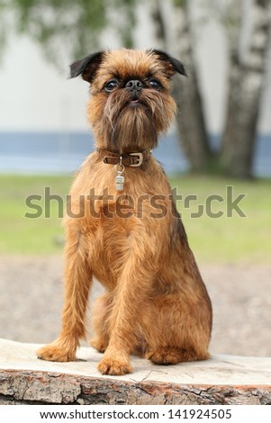 Brussels Griffon dog portrait on wooden bench (Outdoor) - stock photo