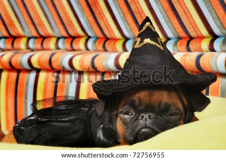 Brussels Griffon dog with witch costume in studio - stock photo
