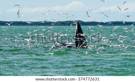 Bryde's whale feeding in the Gulf of Thailand. - stock photo