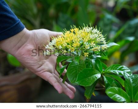 Buah Karang Hutan blossom , Scientific name: Tarenna odorata, Family: Rubiaceae, very beautiful and extremely fragrance - stock photo