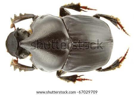 Bubas bison (dung beetle) isolated on a white background. - stock photo