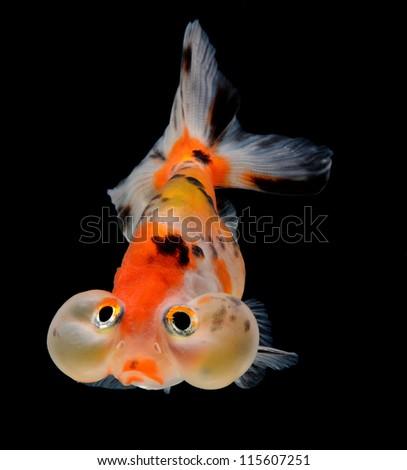 bubble balloon goldfish isolated on black background - stock photo
