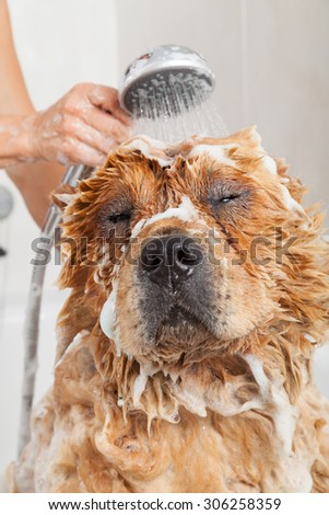 Bubble Bath a lovely dog chow chow - stock photo