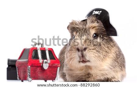 Buccaneer treasure. Funny guinea pig portrait over white background - stock photo