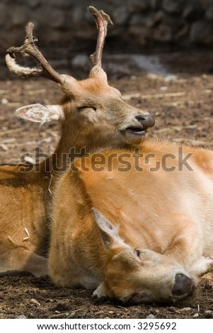 buck and doe are resting on the earth - stock photo