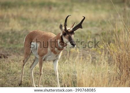 Buck Antelope - stock photo