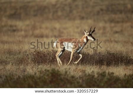 Buck antelope running - stock photo