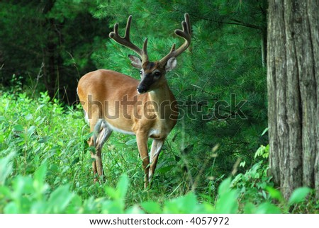 Buck deer with summer antlers in the Smoky Mountains National Park - stock photo