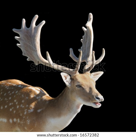 Buck Fallow Deer Isolated on Black Background - stock photo
