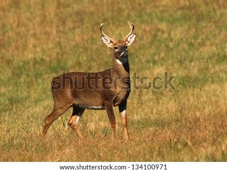 Buck in Cade's cove - stock photo