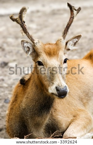 buck is resting on the earth - stock photo