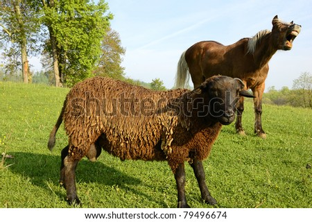 Buck sheep portrait being ruined by his pal the horse,  pasture field, family farm, Webster County, West Virginia, USA - stock photo