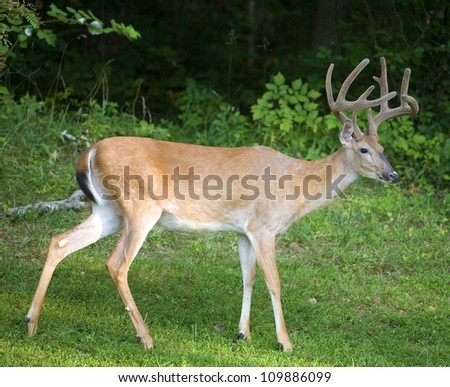 Buck with its antlers still in velvet near a dark forest - stock photo