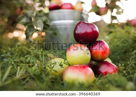 bucket full of ripe apples is in the garden grass in the rays of sunset - stock photo