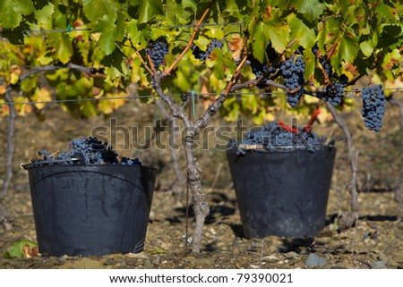 Buckets of picked grapes in vineyard in the Priorat region of Catalonia, Spain