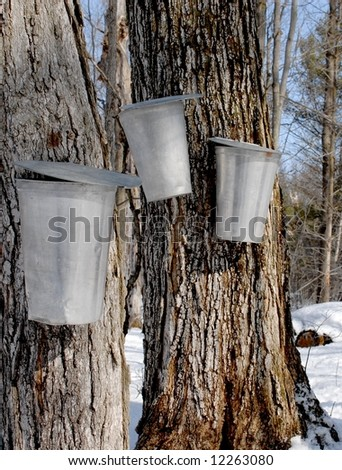 buckets on trees collecting maple sap - stock photo
