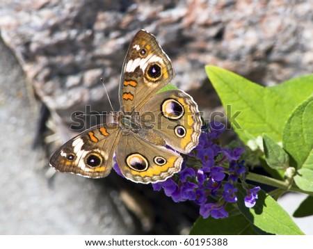 Buckeye Butterfly on Butterfly Bush with Granite - stock photo
