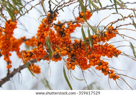 buckthorn in the winter. Berries of sea-buckthorn are in winter after a snow-fall. The branches of sea-buckthorn with snow. covered with snow wild sea buckthorn - stock photo