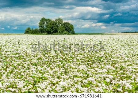 Buckwheat blooms field white flowers sky stock photo 671981542 buckwheat blooms in the field white flowers sky with dark clouds mightylinksfo