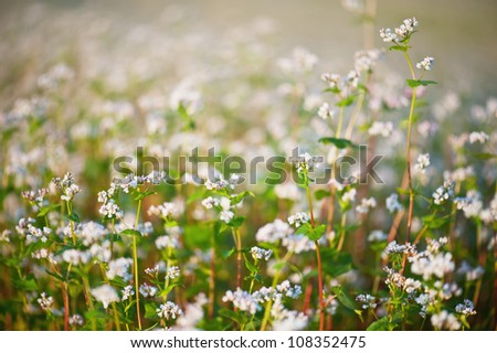 Buckwheat flowers closeup - stock photo