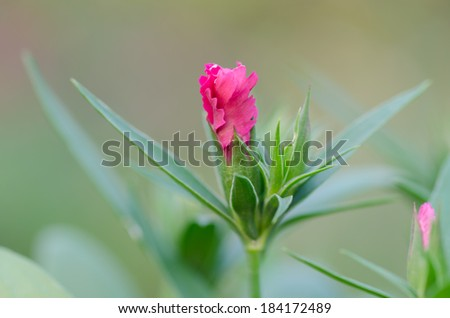 Bud Dianthus chinensis close-up - stock photo