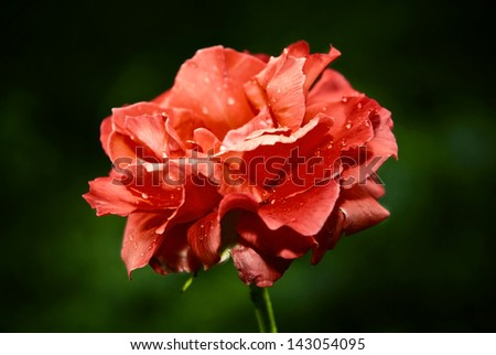 Bud of a red rose with drops of dew on petals. Soft focus - stock photo