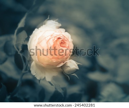 bud of a rose in water drops  - stock photo