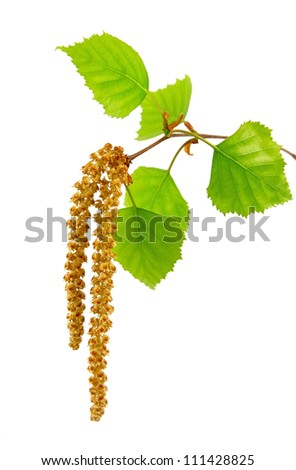 Bud of birch on a white background - stock photo
