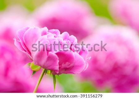 bud of pink peony on a background of peony flowers - stock photo
