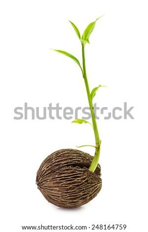 Bud of plant germination isolated on white - stock photo