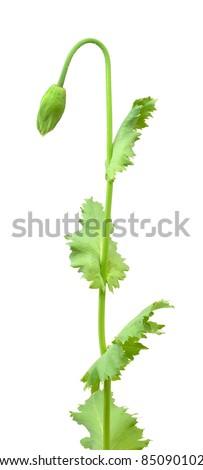 Bud of poppy isolated on white background - stock photo
