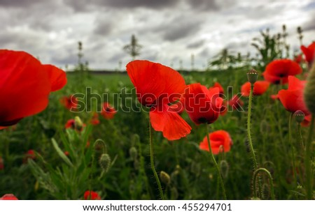 bud wild poppy flower in a field with grasses - stock photo