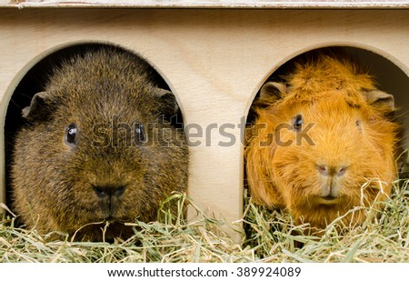buddies at home (rex and short haired peruvian guinea pig) - stock photo