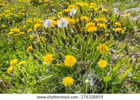 Budding, blooming and overblown common dandelions and also seed heads in their own natural habitat on a sunny day in the early spring season. - stock photo